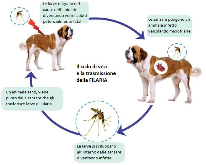 Ciclo filaria cane